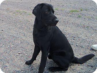 Labrador Retriever Mix Dog for adoption in Medford, Wisconsin - BENTLEY