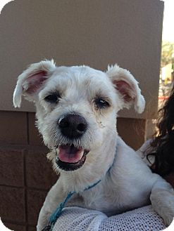 Maltese/Poodle (Miniature) Mix Dog for adoption in Gilbert, Arizona - Christian