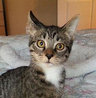 Domestic Shorthair Cat for adoption in Lago Vista, Texas - Dylan
