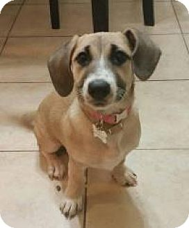 Beagle/Basset Hound Mix Puppy for adoption in Yorba Linda, California - Zoey
