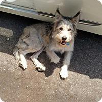 Adopt A Pet :: Blitz - Gig Harbor, WA