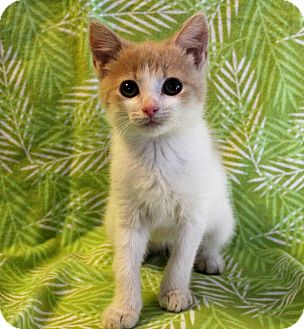 Manx Kitten for adoption in Greensboro, North Carolina - Penelope