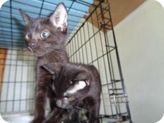 Domestic Shorthair Kitten for adoption in Breinigsville, Pennsylvania - Jordan