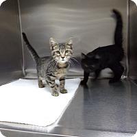 Domestic Shorthair Kitten for adoption in Osceola, Arkansas - NICKY AND BETTY SUE