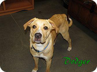 Labrador Retriever Mix Dog for adoption in Idaho Falls, Idaho - Dodger