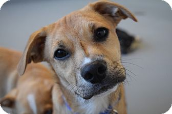 Pug/Terrier (Unknown Type, Small) Mix Puppy for adoption in Westport, Connecticut - *Arrow - PENDING