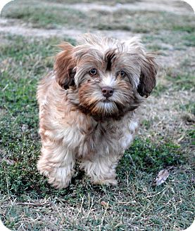 Yorkie, Yorkshire Terrier/Poodle (Miniature) Mix Puppy for adoption in Westport, Connecticut - Waggles