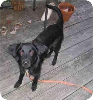 Italian Greyhound Mix Dog for adoption in Alfred, Maine - Jetson