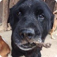 Labrador Retriever Mix Dog for adoption in Grayson, Kentucky - Frankie (10 yr 45 lb)
