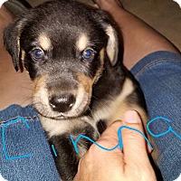 Adopt A Pet :: Cinna - Overland Park, KS