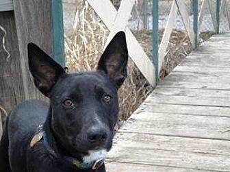 Border Collie/German Shepherd Dog Mix Dog for adoption in Yukon, Oklahoma - Norma Jean