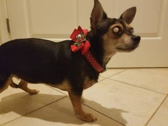 Chihuahua Mix Dog for adoption in Fairfax, Virginia - Tootie