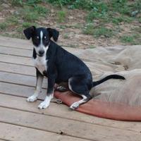 Adopt A Pet :: shasta - benton, TN