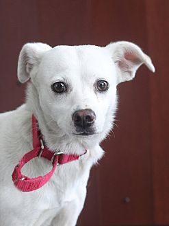 Chihuahua Dog for adoption in Berkeley, California - Diffy