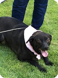 Labrador Retriever Mix Dog for adoption in Lebanon, Maine - Jasmine