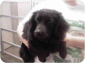Shih Tzu/Schnauzer (Miniature) Mix Dog for adoption in Manassas, Virginia - Drew
