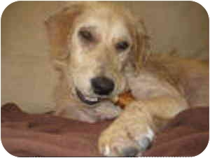 Golden Retriever Mix Dog for adoption in Houston, Texas - Kroger