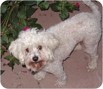 Miniature Poodle/Maltese Mix Dog for adoption in Los Angeles, California - Harmony