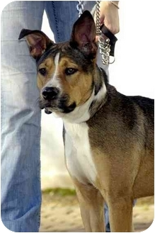 Shepherd (Unknown Type)/American Staffordshire Terrier Mix Dog for adoption in Long Beach, New York - Milo