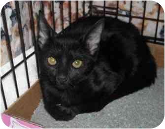 Domestic Shorthair Kitten for adoption in Colmar, Pennsylvania - Celia