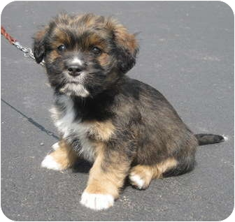 Terrier (Unknown Type, Medium)/Spaniel (Unknown Type) Mix Puppy for adoption in Milford, New Jersey - Marilyn