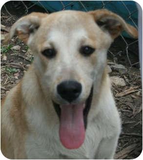 Golden Retriever/Labrador Retriever Mix Dog for adoption in Hagerstown, Maryland - Birch