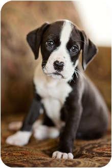 Labrador Retriever/Bluetick Coonhound Mix Puppy for adoption in Howell, Michigan - Annie