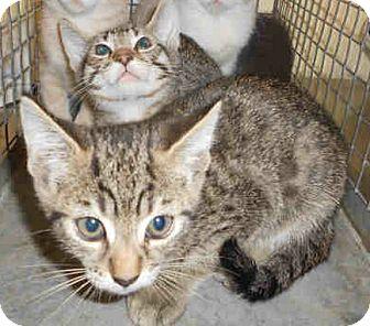 Domestic Shorthair Kitten for adoption in Yuba City, California - 6/23 Brown Tabby Boy