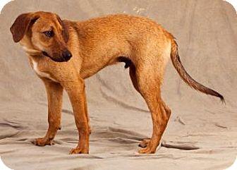 Golden Retriever/Foxhound Mix Puppy for adoption in Buffalo, New York - Donald