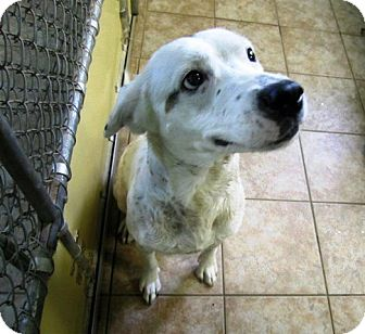 Irish Setter/Labrador Retriever Mix Dog for adoption in Newtown, Connecticut - Blanche