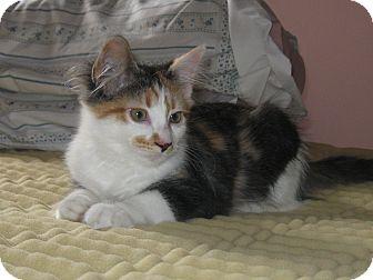 Calico Kitten for adoption in Maple Ridge, British Columbia - Cinnamon
