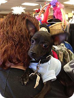 Miniature Pinscher/Chihuahua Mix Puppy for adoption in Ogden, Utah - Al