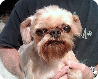 Brussels Griffon Dog for adoption in Little Rock, Arkansas - AJAX - in Rogers, AR.
