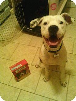 Boxer/Dalmatian Mix Dog for adoption in Madison, New Jersey - Mushball Marshall