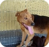 Rottweiler/Shepherd (Unknown Type) Mix Dog for adoption in Las Vegas, Nevada - Bruno