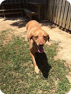 Labrador Retriever Mix Dog for adoption in Hartselle, Alabama - Brandy