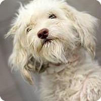 Adopt A Pet :: Poppy - havanese poodle cross - Phoenix, AZ
