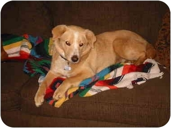 Labrador Retriever Mix Dog for adoption in Lebanon, Tennessee - BUTTONS