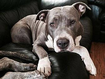 American Staffordshire Terrier Dog for adoption in Encino, California - Laima