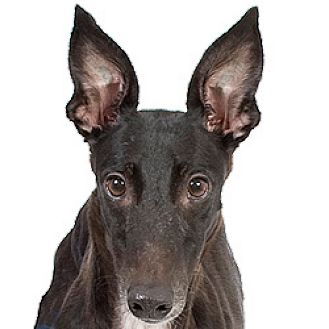 Greyhound Dog for adoption in Philadelphia, Pennsylvania - Lassy