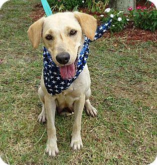 Labrador Retriever Mix Dog for adoption in Port St. Joe, Florida - Aeris