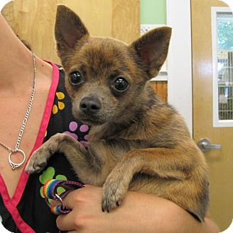 Chihuahua/Cairn Terrier Mix Dog for adoption in Port St. Joe, Florida - Chanel