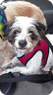 Schnauzer (Miniature)/Chihuahua Mix Dog for adoption in Jacksonville, Florida - Truitt
