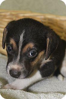 Collie/Labrador Retriever Mix Puppy for adoption in Waldorf, Maryland - Clark