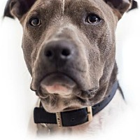 Adopt A Pet :: Zeus (Courtesy Post) - LOS ANGELES, CA