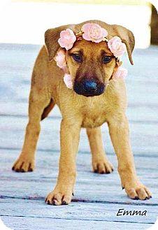 Shepherd (Unknown Type)/Terrier (Unknown Type, Medium) Mix Puppy for adoption in East Hartford, Connecticut - Emma 2- in CT