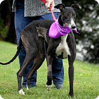 Adopt A Pet :: Smidget - Knoxville, TN