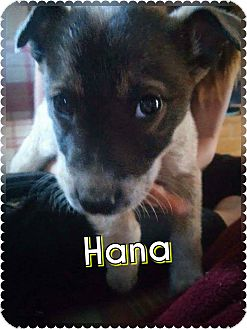 Border Collie/Australian Cattle Dog Mix Puppy for adoption in Rosamond, California - Hana