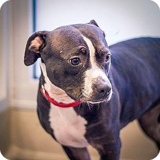 American Pit Bull Terrier Dog for adoption in Berkeley, California - Sasha