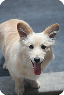 Corgi Mix Dog for adoption in Allentown, Pennsylvania - Dorchester